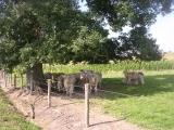 Charolai-koeien